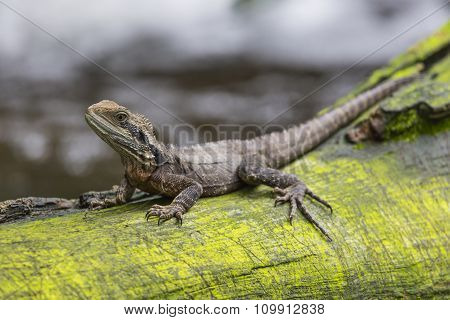 Close Up Of Eastern Water Dragon Lizard, Australia