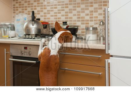 Hungry basenji dog is trying to reach for a cookie left by master