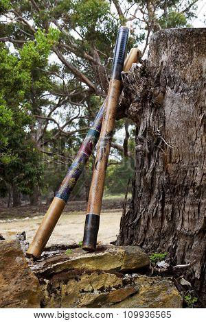 Australian Didgeridoos Rest Against Massive Stump