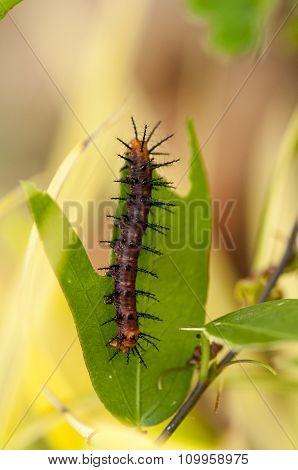 Tawny Coster's Caterpillar