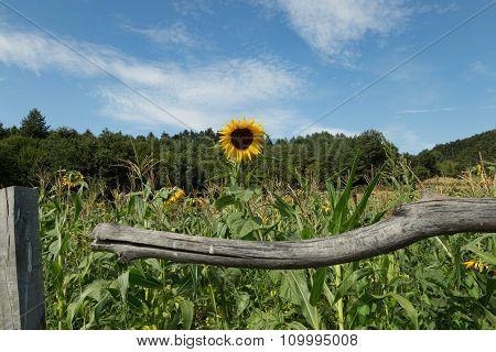 Sunflowers and Cornfields