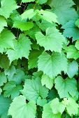 vertical background of green grape vine leaves poster