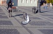 A friendly pigeon playing in Big Square in the city center of Sibiu, Romania poster