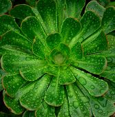 Green rosettes of aeonium with morning raindrops, wild plant of Canary islands poster