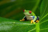 Red-Eyed Amazon Tree Frog (Agalychnis Callidryas) on large palm leaf poster