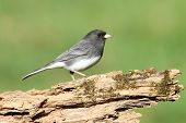 Dark-eyed Junco (Junco hyemalis) on a stump with a green background poster