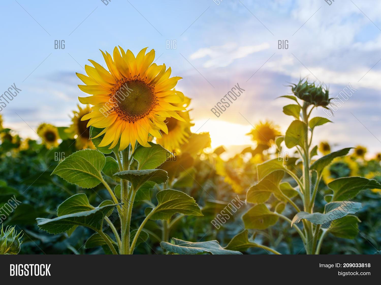 Beautiful sunflowers image photo free trial bigstock beautiful sunflowers in the field natural background sunflower blooming izmirmasajfo