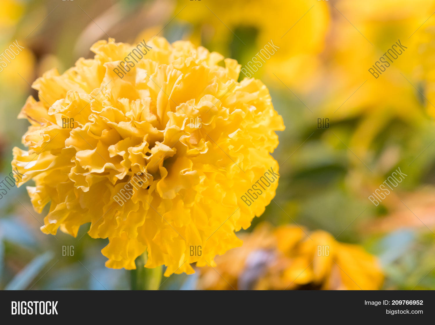 Real Marigold Flowers Image Photo Free Trial Bigstock