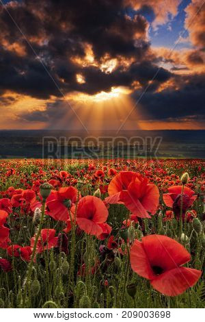 Dramatic sky sunset over a field of poppies