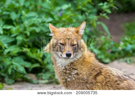 Golden jackal on a hot summer day wandered to the garden path in the suburbs