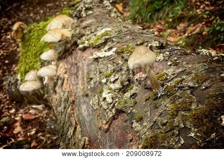 saprophyte Oudemansiella Mucida commonly known as Porcelain Fungus on beech dead in Nebrodi Park, Sicily