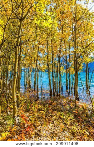 Flooded coastal  birch groves. Magnificent turquoise Abraham Lake. Rocky Mountains of Canada in the Indian summer. The concept of ecological and active tourism