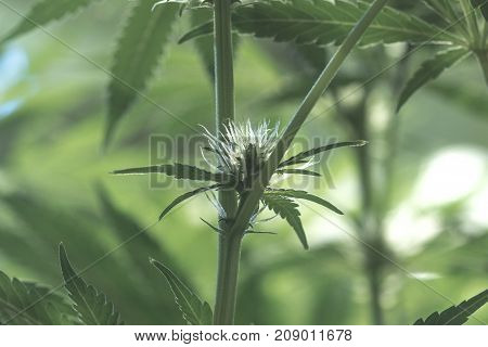 An up close view of a young indoor flowering legal medical marijuana cannabis bud. Here you can see the strong developement of young pistils inside of this cannabis grow facility.