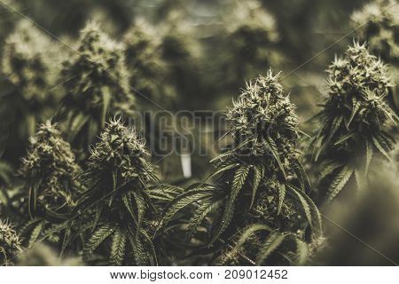 Large and thick mature marijuana cola buds developing amber pistils and trichomes in an indoor medical marijuana recreational grow farm. The buds are isolated with a background blur.