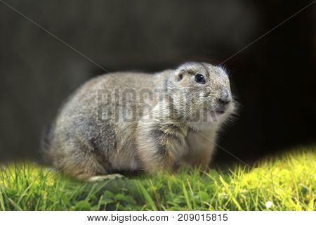 Little prairie dog on the grass on black background.