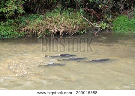 The flock of salmon swimming for spawning