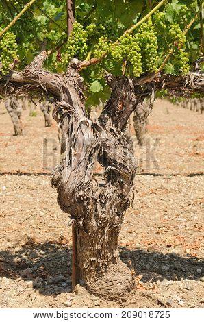 Old vines in a California vineyard