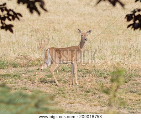 young Whitetail doe (odocoilus virginianus)