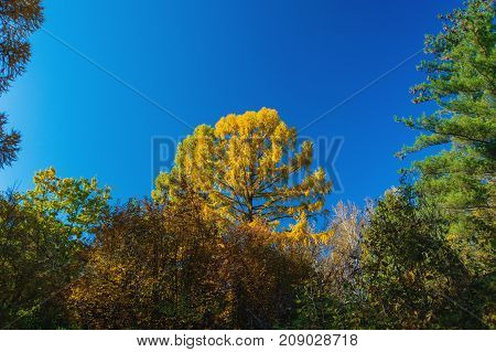 Tree Tops Of Autumnal Forest. Close Up Of Trees.