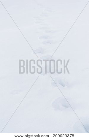 animal tracks in the snow - selective focus