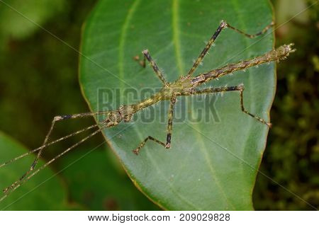 close up image of a mossy stick insect from Borneo