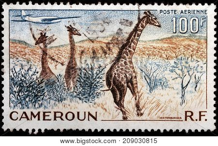 LUGA RUSSIA - OCTOBER 12 2017: A stamp printed by CAMEROON shows African landscape wiith giraffes circa 1955
