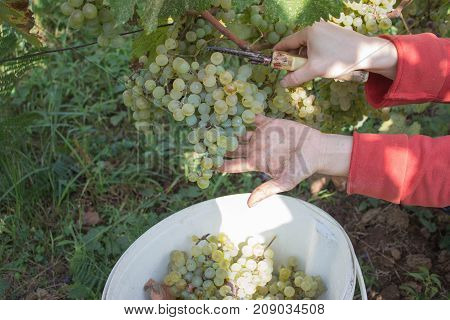 Farmer with garden scissors cutting a large bunch of grape in sunny valley. Work on vineyards during harvest. Grapes harvest in vineyard