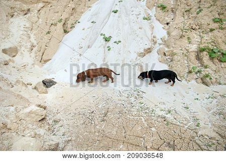 Cute dachshund dogs sniffing on a sand in summertime