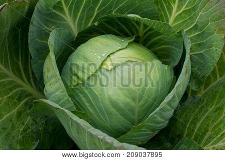 Freshly Harvested Cabbage