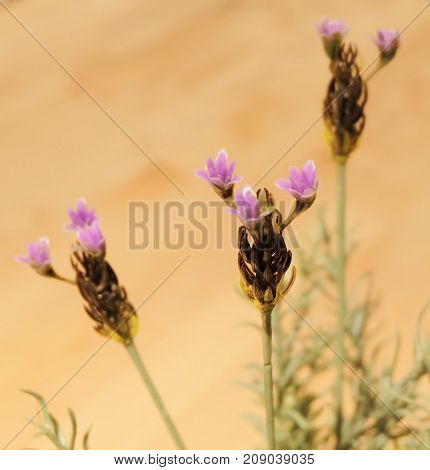 Beautiful Flower Purple Artificial Lavender or Lavandula Flowers for Home and Building Decoration.