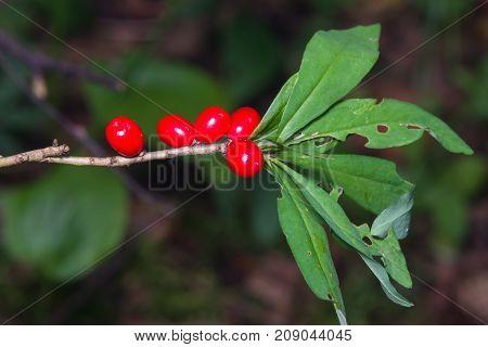 Spurge laurel or Daphne mezereum poisonous plant fruit close-up with bokeh background selective focus shallow DOF.