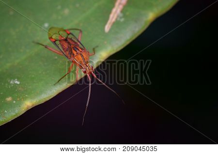 macro image of a beautiful mirid bug