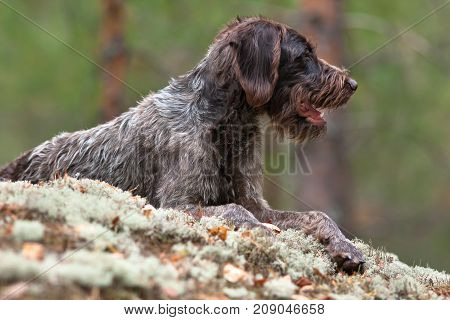 german wirehaired pointer outdoors on blurred background