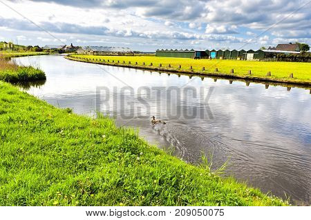 Greenhouses for growing tulip flowers in Nethrlands. A family of ducks swimming in a drainage channel near the tulip fields in Holland