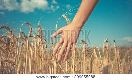 Toned picture of human hand and rye spikelets