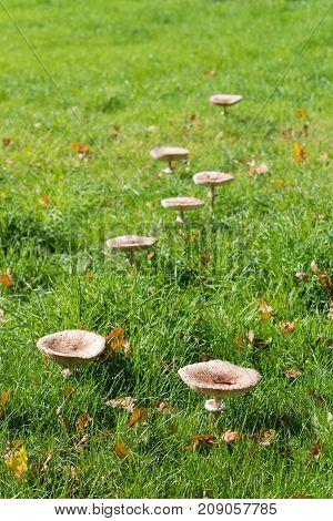 group of edible armlilaria mellea mushrooms in a meadow