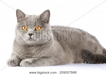 British cat with amber eyes. The cat is looking into the distance. Cat on isolation. A cat is lying on a white background.