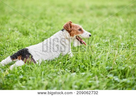 Shot of a cute wire fox terrier dog relaxing on the grass after playing in the park copyspace animals pets recreation enjoyment vitality.
