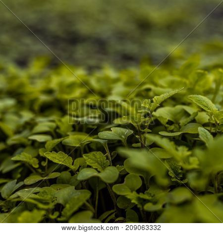 The Young Shoots Green Leaves Of Mustard In The Vegetable Garden As Textured Background