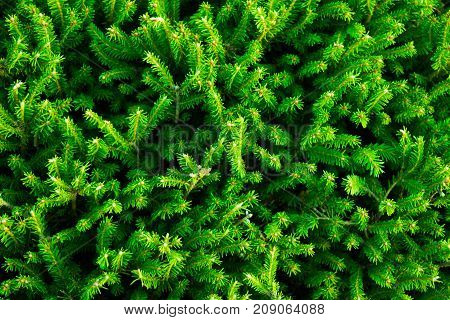 Detailed background of fir branches with green needles.