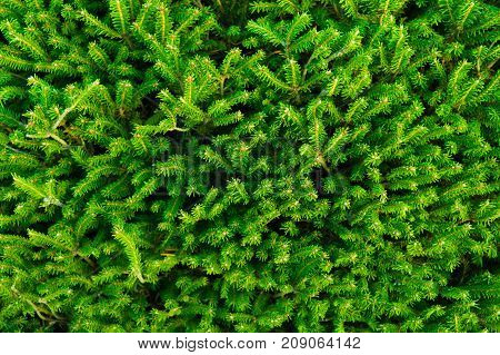 Background of Christmas tree branches with green needles.