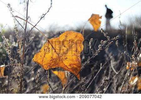 Fall Orange Poplar Leaf In Backlighting On The Background Of Wasteland And Male Silhouette.