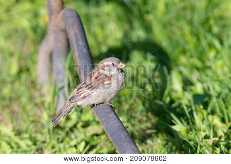 portrait of a sparrow sitting on a metal pipe