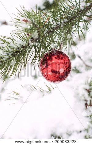 Christmas Red Balls On Pine Tree Branch Covered With Snow.