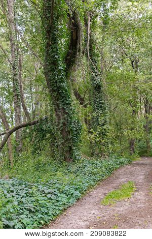 Road in the forest with trees covered with ivy vines