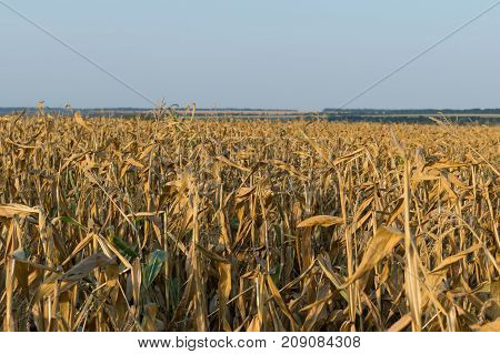Corn field in autumn ready for harvesting
