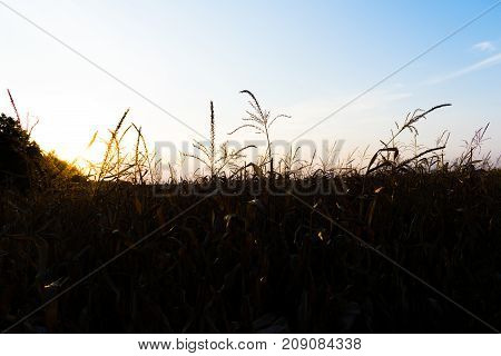 Corn field solhouettes in autumn on sunset