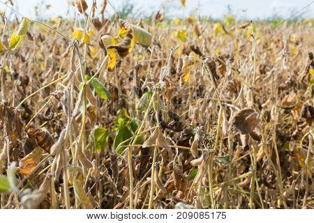 Ripe soybeans on the field in autumn