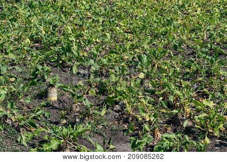 Ripe sugar beets growing on the field