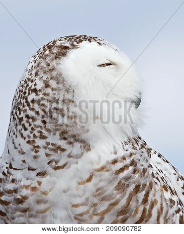 Snowy owl (Bubo scandiacus) standing in middle of a snow covered field